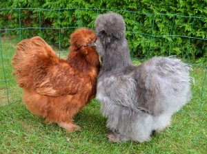 poules soie