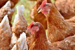 inconvénients d'avoir des poules chez soi