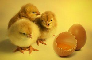 inconvénients d'avoir des poules