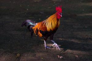 avoir des poules contraintes