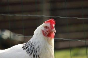 poule Sussex