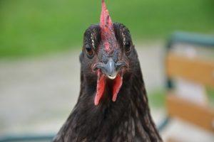 poule grise cendrée