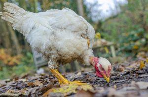 poulet cou nu
