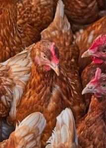 pourquoi les poules ne pondent plus