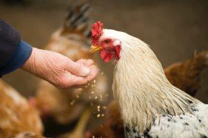 mes poules ne mangent plus depuis 6 mois