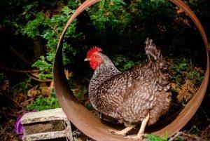 poule Coucou
