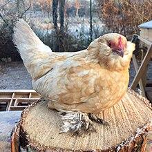poule Barbu d'Uccle