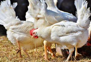 litière pour poules