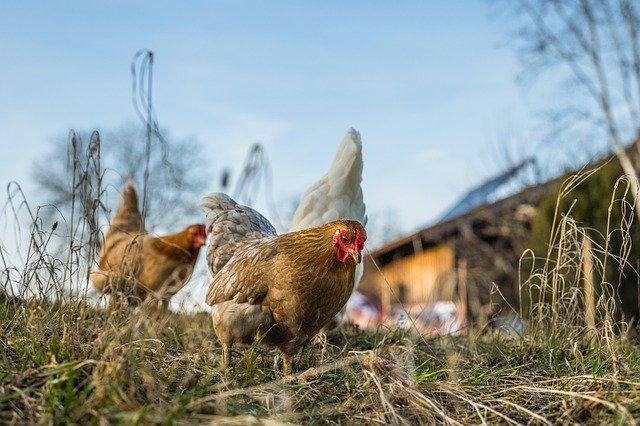 avoir des poules et partir en vacances