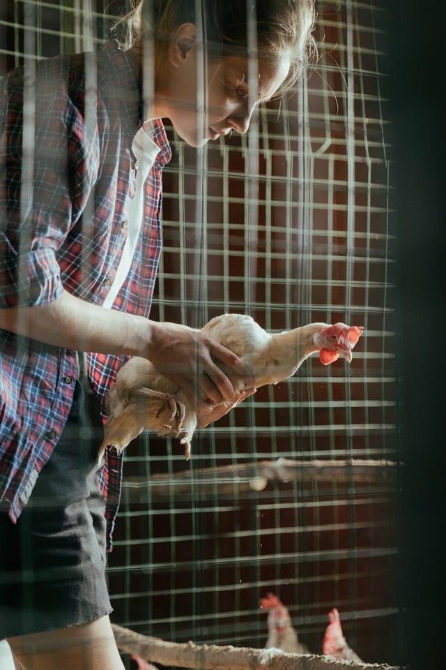 comment attraper une poule