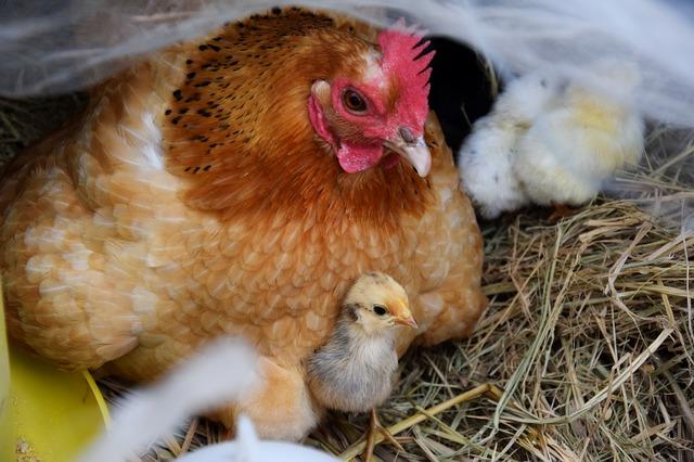 combien d'oeufs une poule peut elle couver